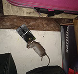 a picture of a mouse trapping 3